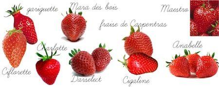 Variétés des fraises