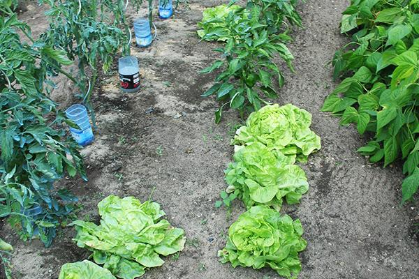 jardinsfamiliaux_3.salades